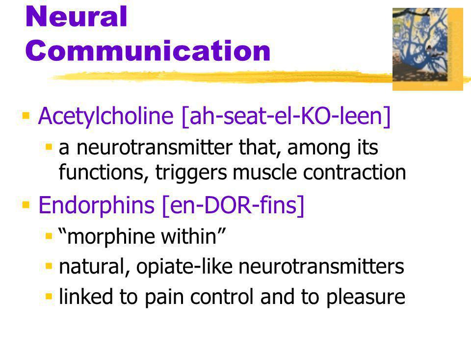 Neural Communication Acetylcholine [ah-seat-el-KO-leen]